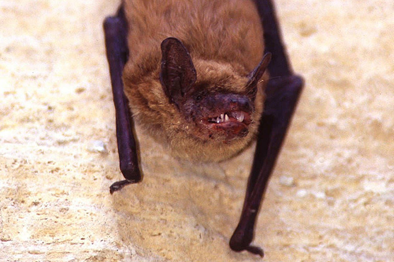 A bat, found at Keating Elementary School last week, has tested positive for the rabies virus. (File photo)