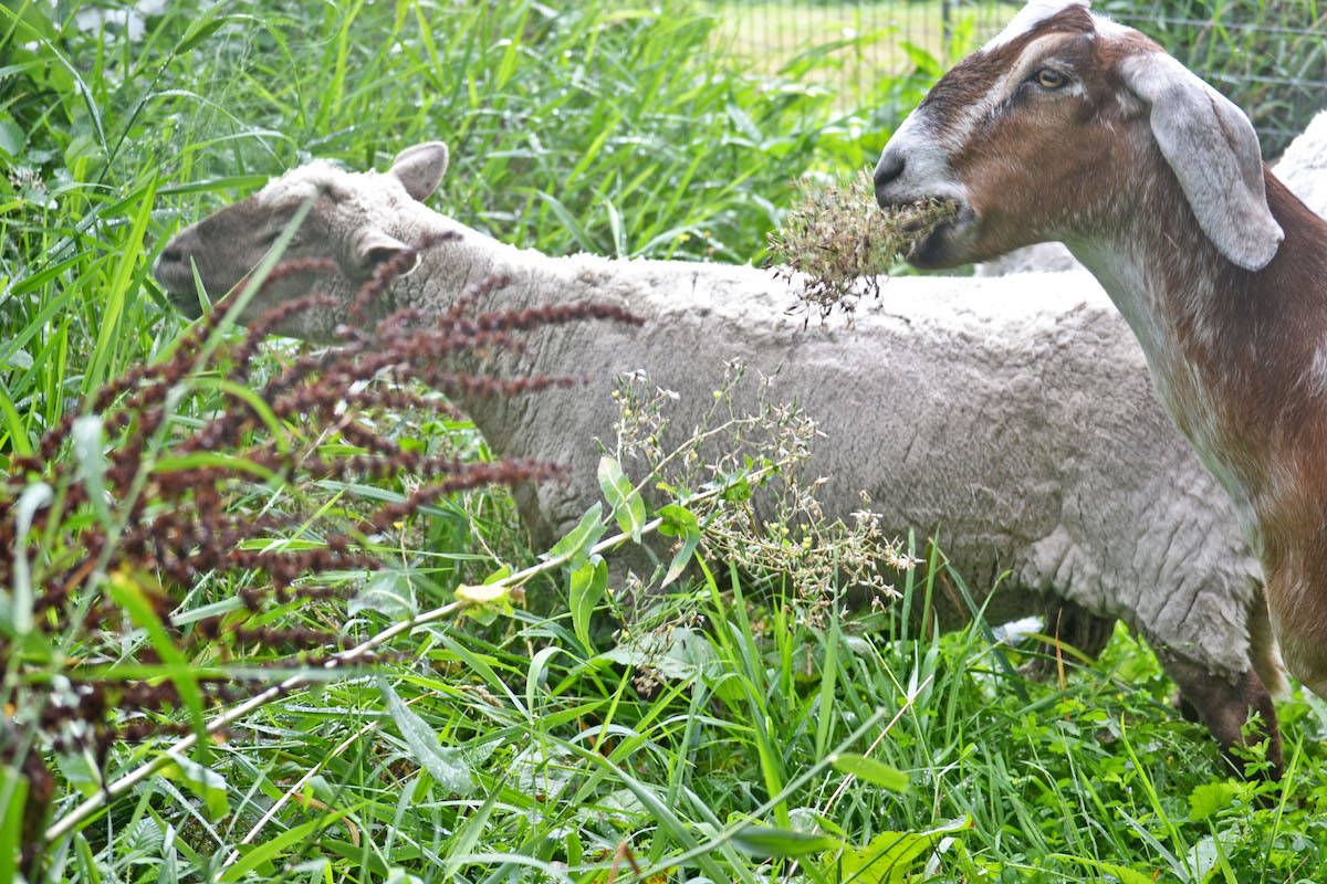 WATCH: Hungry herds of mowers for rent in Aldergrove