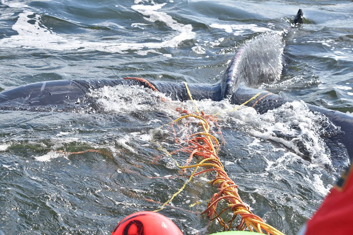 An entangled baby humpback whale was rescued near Ucluelet on Sept. 9. (Photo courtesy of DFO)