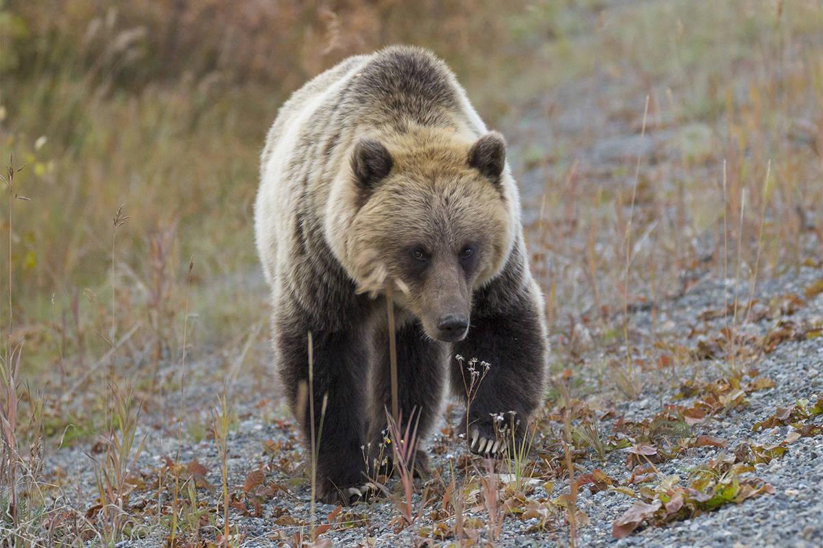 Grizzly bear found shot near Terrace
