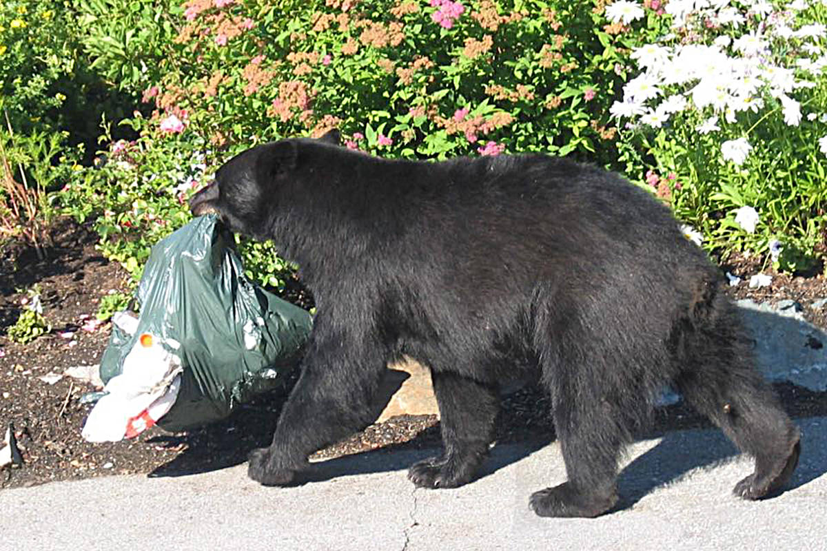 Fraser Valley sees 50 calls for bear conflicts in September