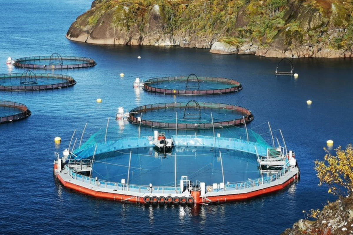 Norway-based Cermaq is preparing to deploy a new ocean-based closed containment salmon pen design in B.C. Fish are reared in a closed-containment pen shown in foreground, then transferred to conventional pens to finish development. (Cermaq Canada)