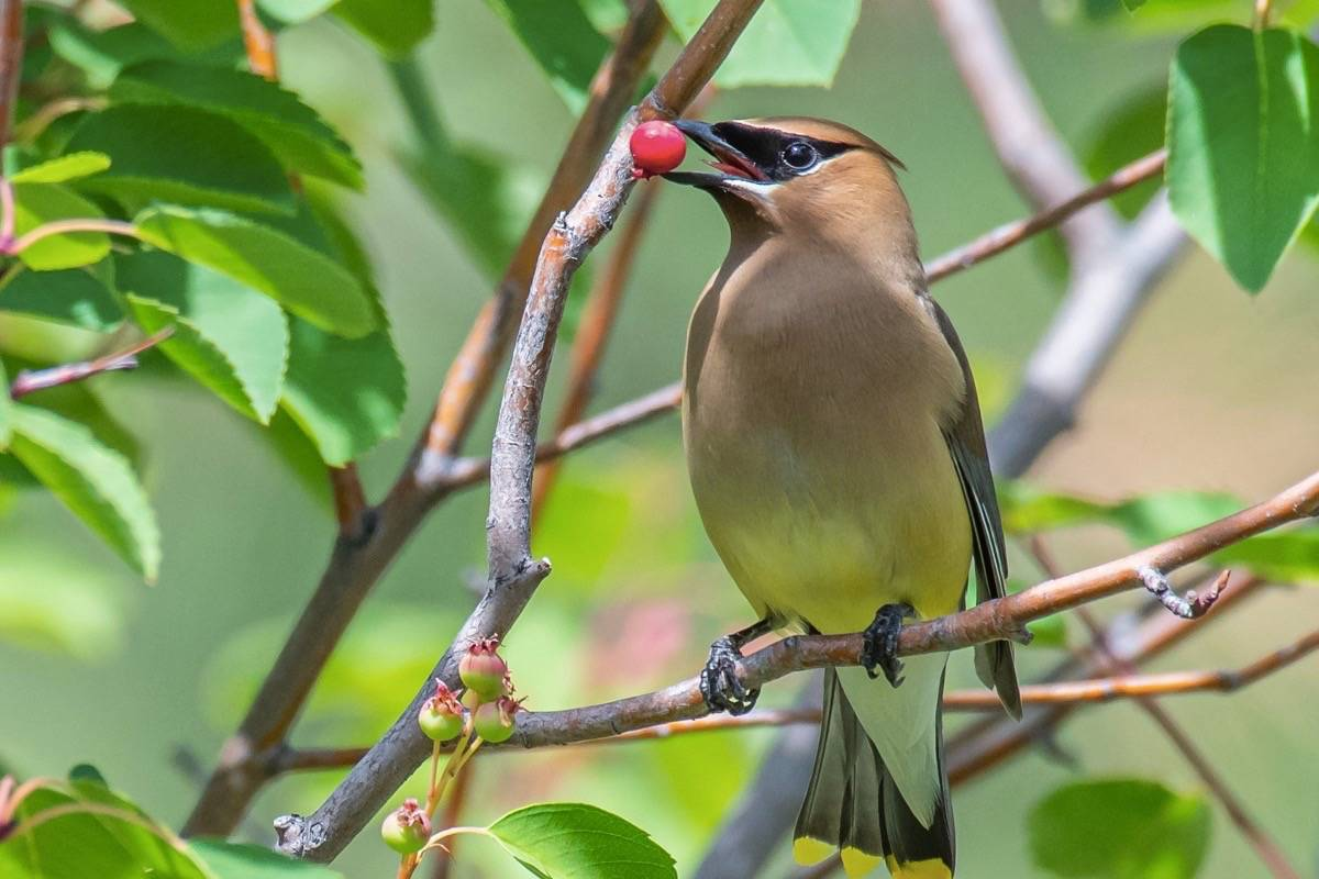Curtis Zutz's photo of a Cedar waxwing chewing on a berry was enough for him to win the top spot in the backyard habitats category. (Curtis Zutz)