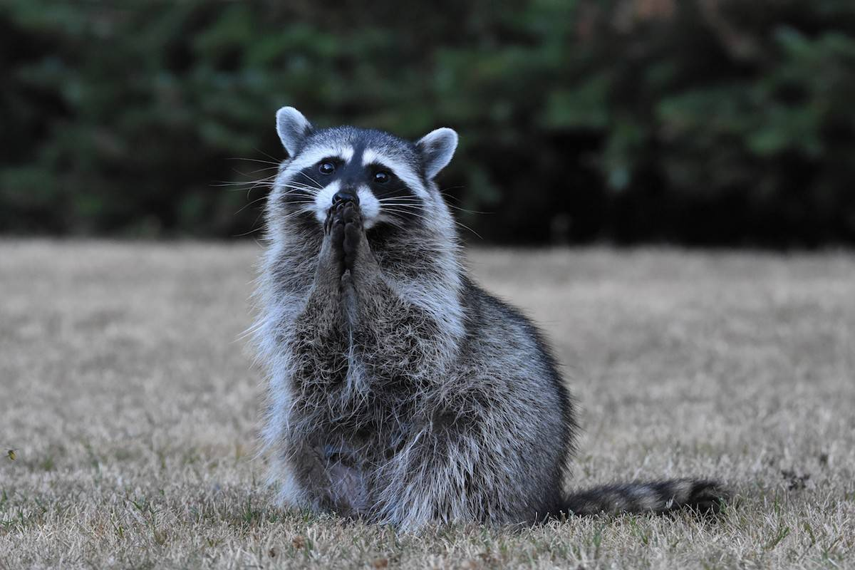Patricia Irvine from Duncan earned second place in backyard habitat category with her photo of a raccoon cleaning its paws. (Patricia Irvine)