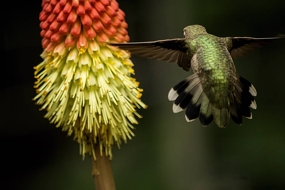 Jordan Blackstone from Qualicum Beach took third in the backyard habitat category with a picture of a hummingbird gazing at flora and fauna while in flight. (Jordan Blackstone)