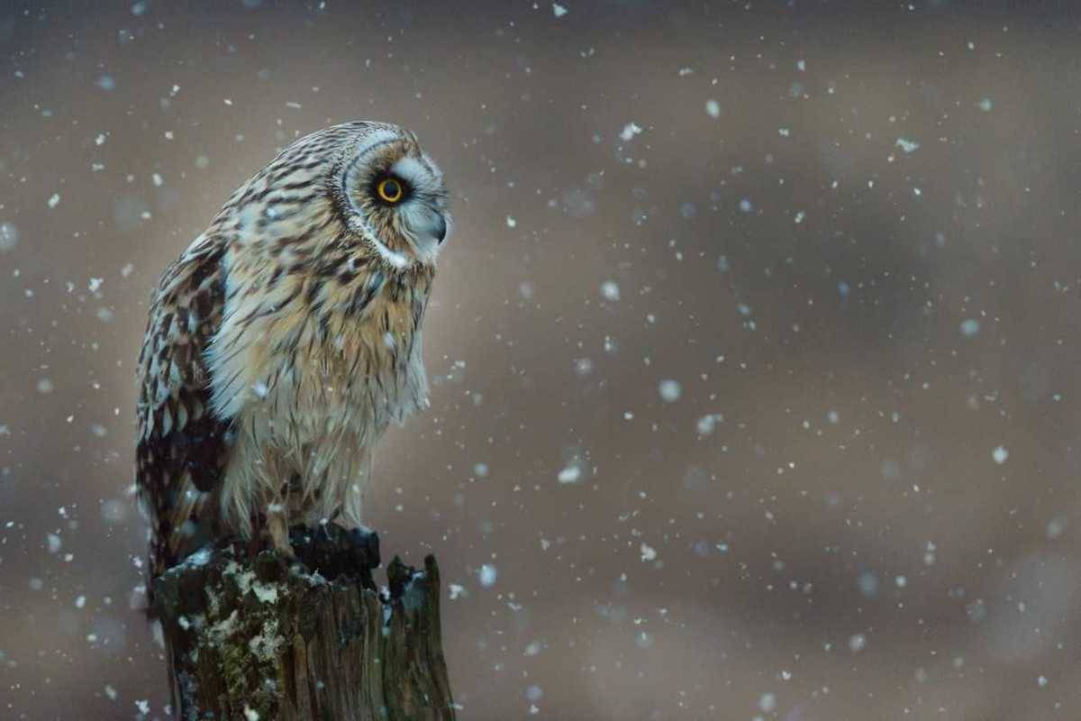 Arsalan Butt from Surrey rounded earned third place in the wilderness settings category with a picture of a short-eared owl staring gallantly at its prey during a snowfall. (Arsalan Butt)