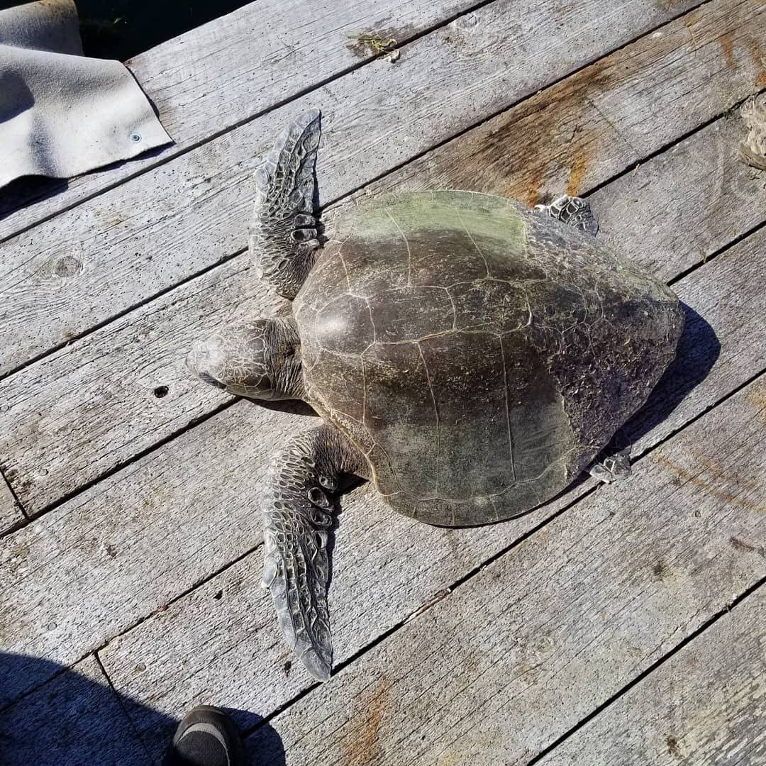 Berni the olive ridley sea turtle was found in the Alberni Inlet on Sept. 30. PHOTO COURTESY BRIAN VALLEE