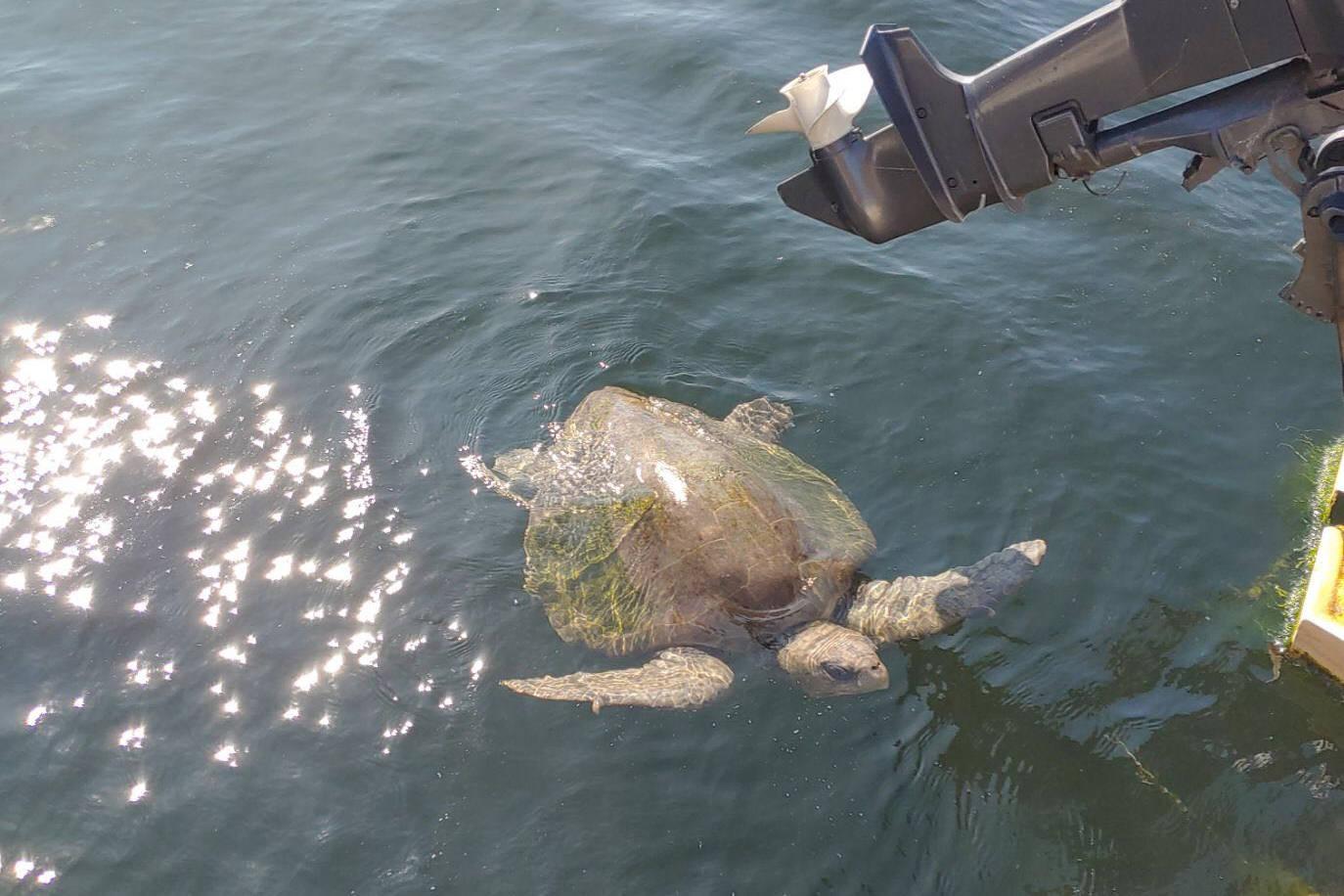 'Berni' was spotted in the Alberni Inlet on Sept. 30. PHOTO COURTESY KRAIG KIMOTO
