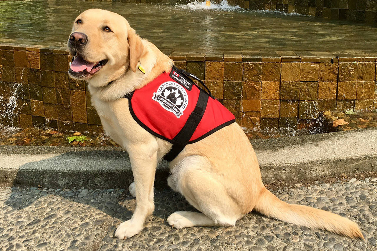 Waldie is a certified service dog. He helps Don Watson go out in public after Watson was diagnosed with PTSD. (File contributed/ Don Watson)