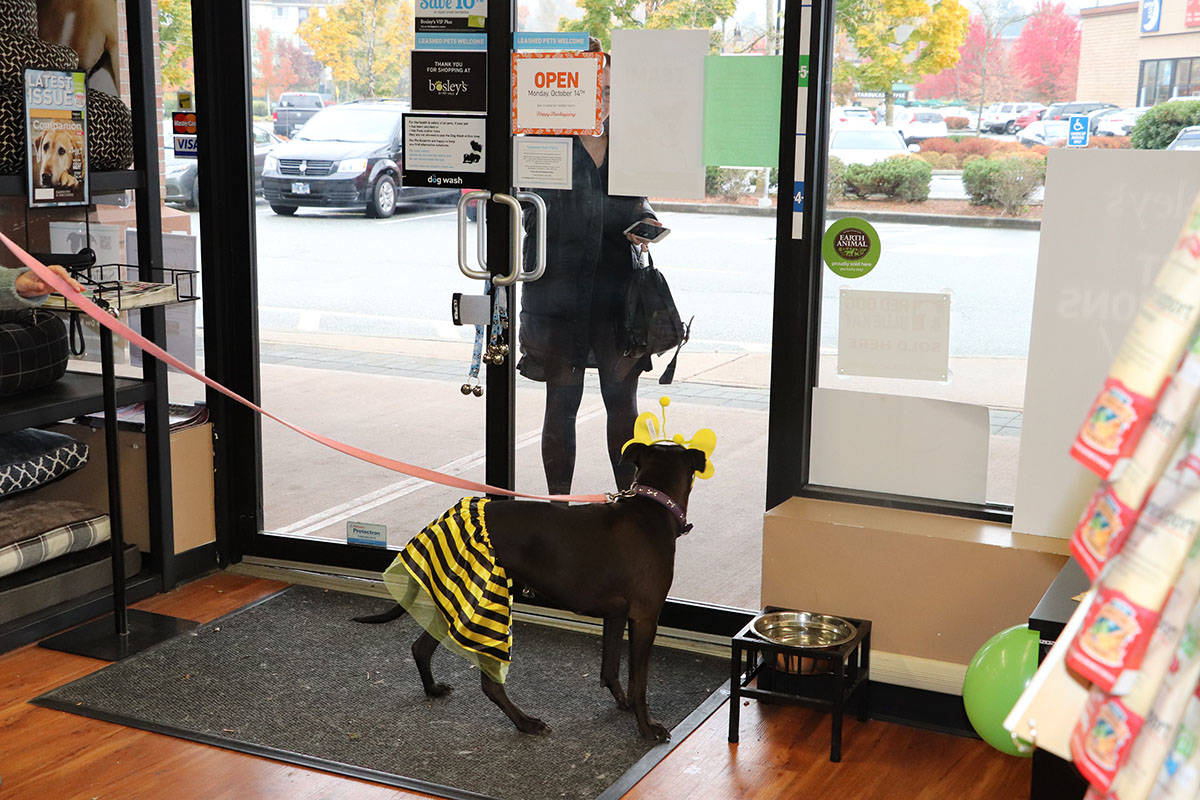 Layla the Pit bull was at the Walnut Grove Bosley's Pet Food Plus greeting visitors during National Adoption Weekend. (Joti Grewal/Black Press Media)
