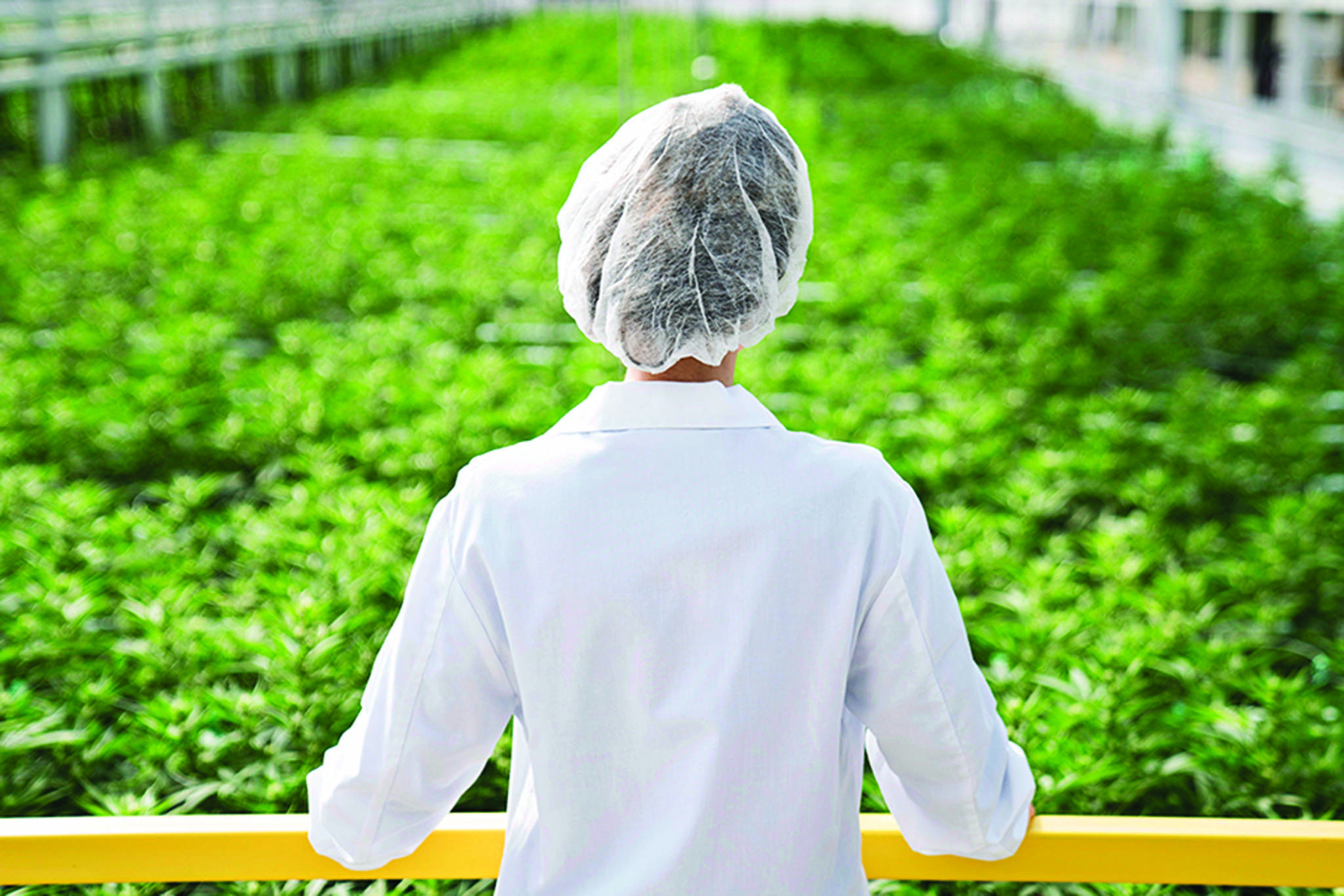 An Aphria worker looks out over a crop of marijuana. Aphria is a Health Canada licensed producer of medical cannabis products. Medical marijuana will be one of three topics covered at the women's health forum. (HO-Aphria/The Canadian Press)