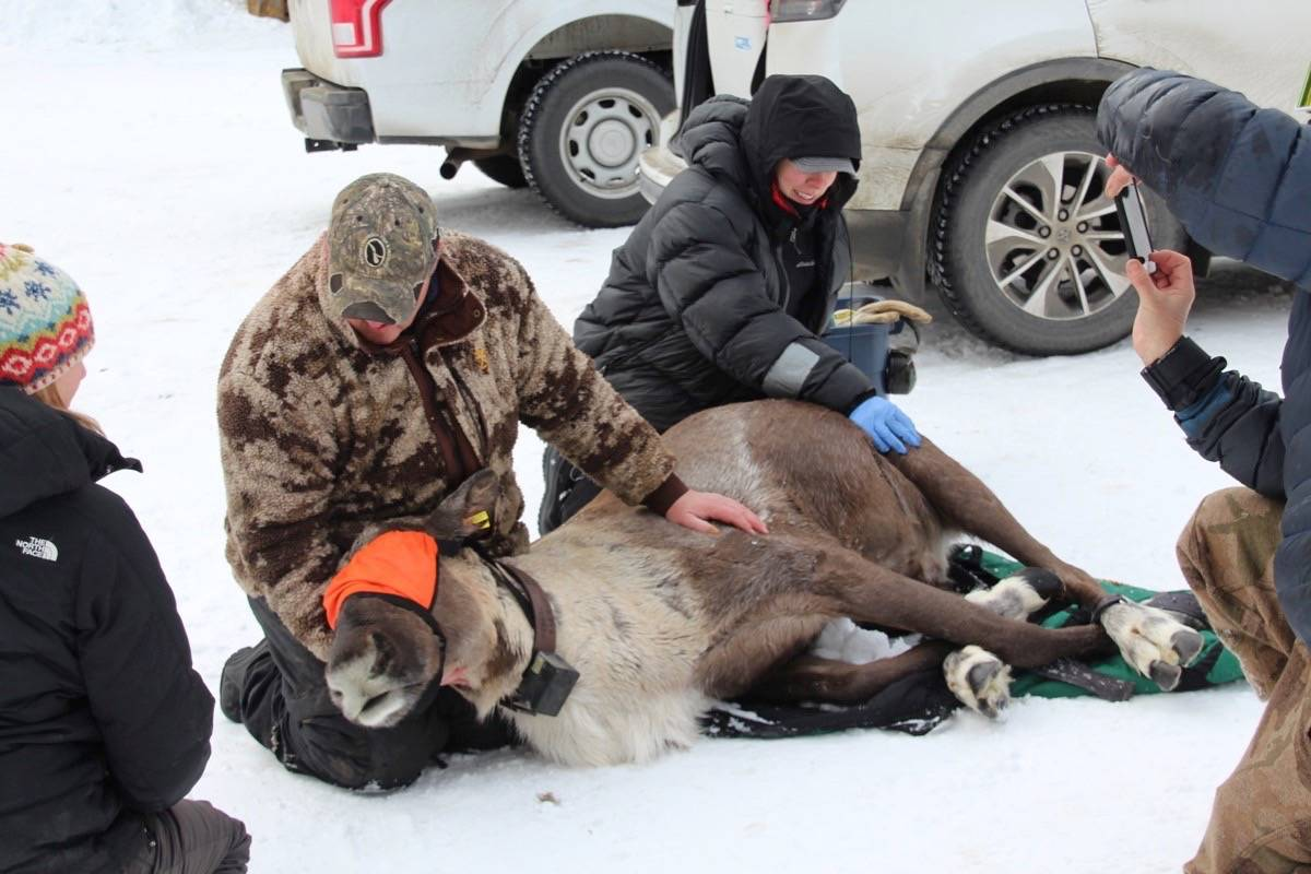 Provincial biologists capture one of three remaining mountain caribou in a South Selkirk herd, to relocate it with a larger group in an effort to maintain a viable breeding population, January 2019. (B.C. forests ministry)