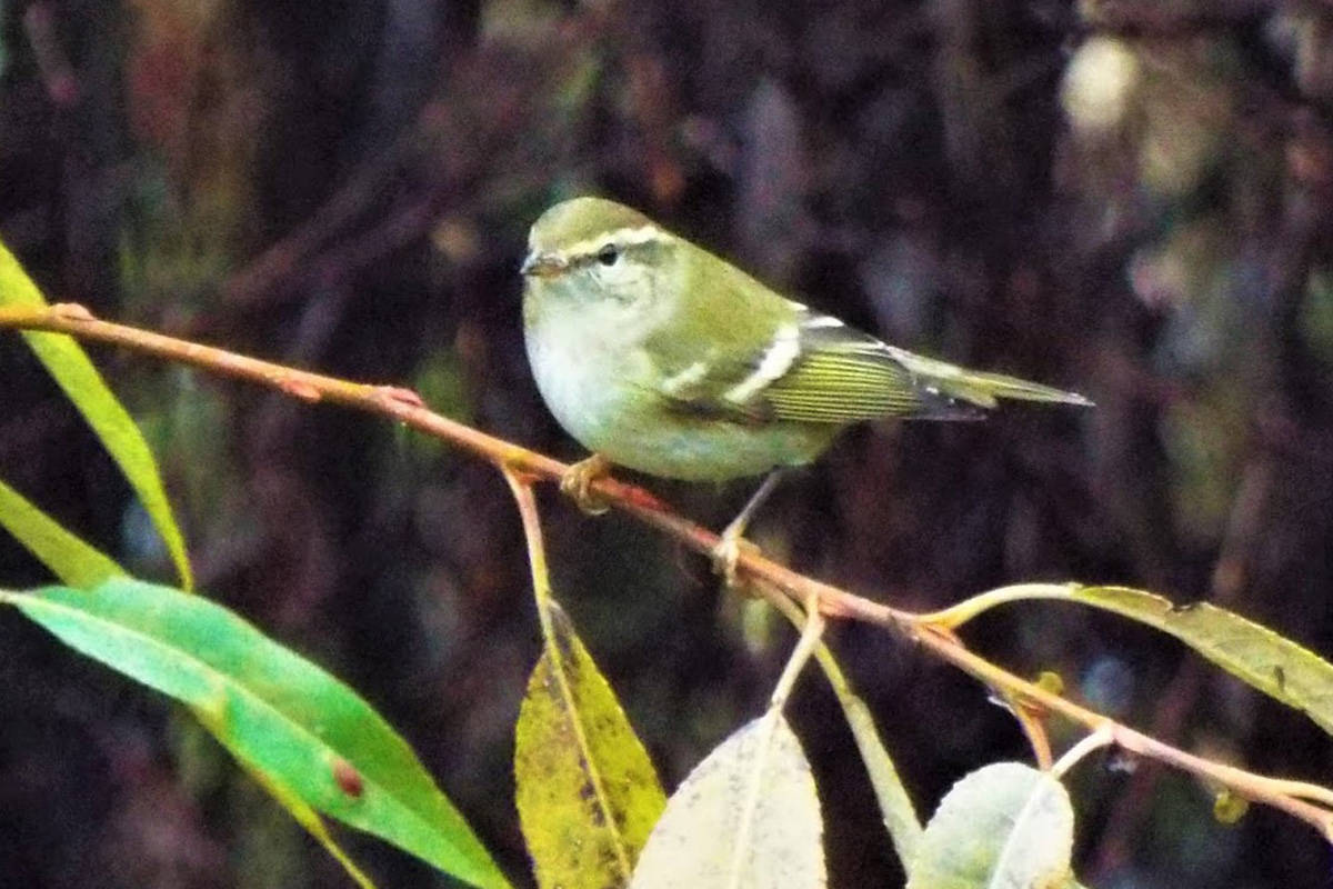 A yellow-browed warbler spotted in Greater Victoria on Friday, Oct. 19, 2019 is drawing hundreds of birders from across the continent to the Panama Flats. (Photo by Geoffrey Newell)