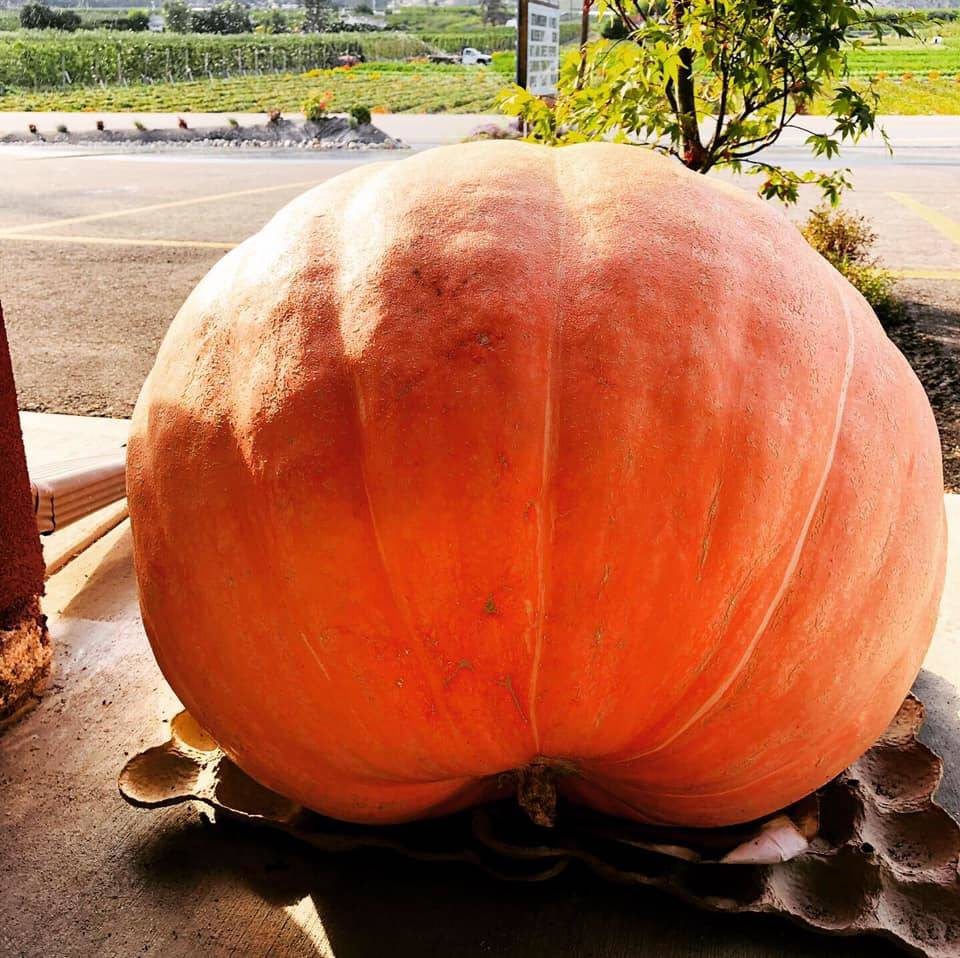 The 100 lb pumpkin that was stolen for a second time from Sunview Market in Oliver. (Photo from Facebook)