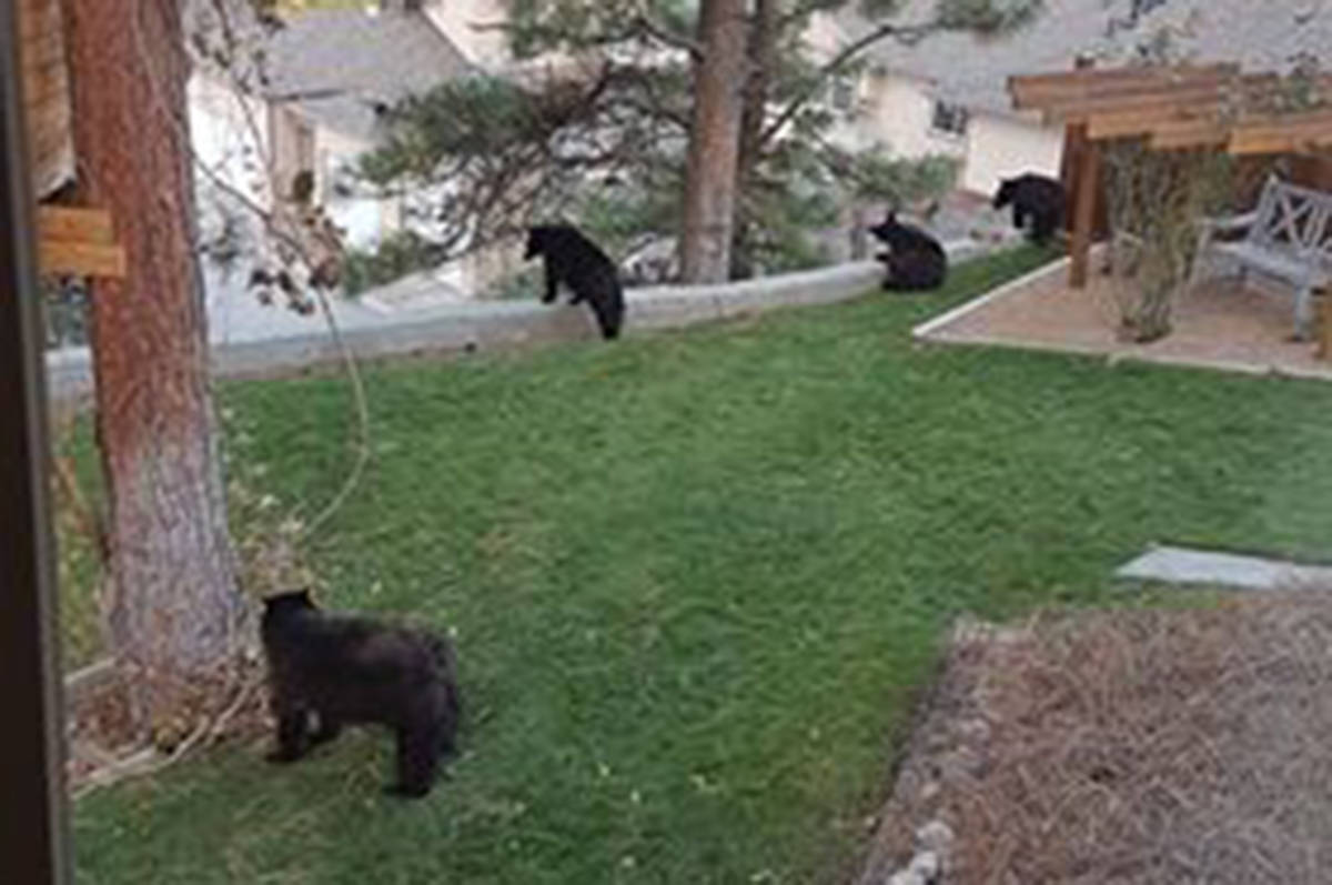 Five black bears were shot and killed by conservation officers in the Wiltse neighbourhood in Penticton, B.C. the morning of Oct. 24 due to public safety concerns. (Karla Ziegler - Photo)