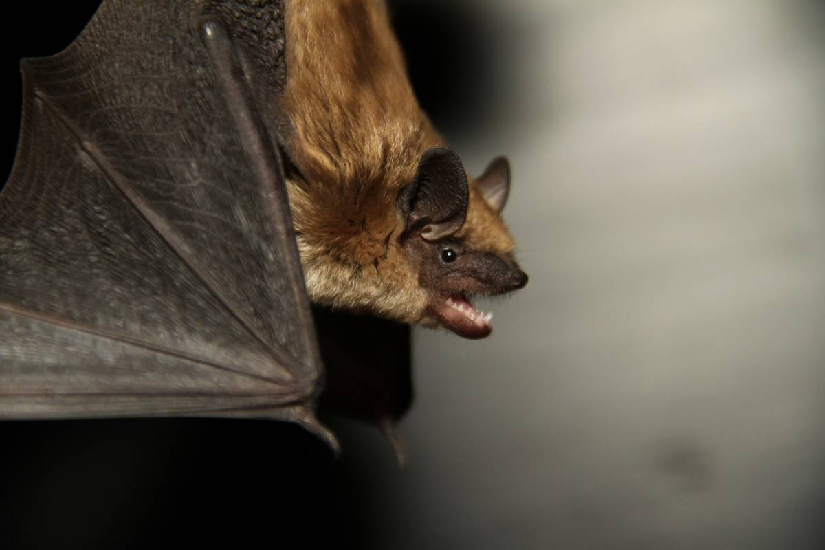 A Big Brown Bat is one of many species that can be found on Vancouver Island. (Photo by Cory Olson)