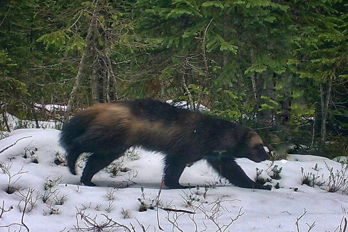 This trail camera photo of a wolverine is what the photographer believes to be a once-in-a-lifetime shot. (SIMDeer Project)