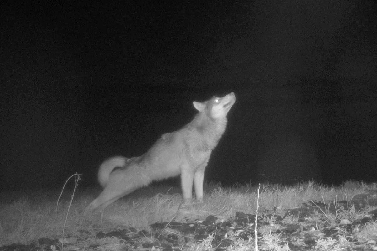 A trail cam set up within the Pacific Rim National Park Reserve captured this image of a wolf. The Park Reserve is hoping to reduce conflicts with wolves and humans. (Photo - Pacific Rim National Park Reserve)