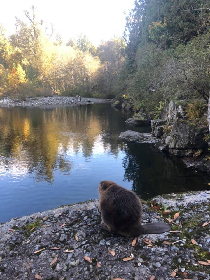 Thankful to be free, the beaver pauses for a look around. (Jennifer Buck photo)