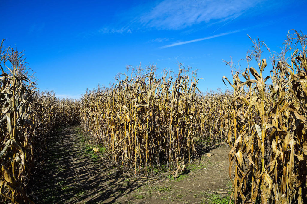 Police are investigating an Oct. 25, 2019 report of unwanted sexual touching at a Saanich corn maze. (Unsplash)