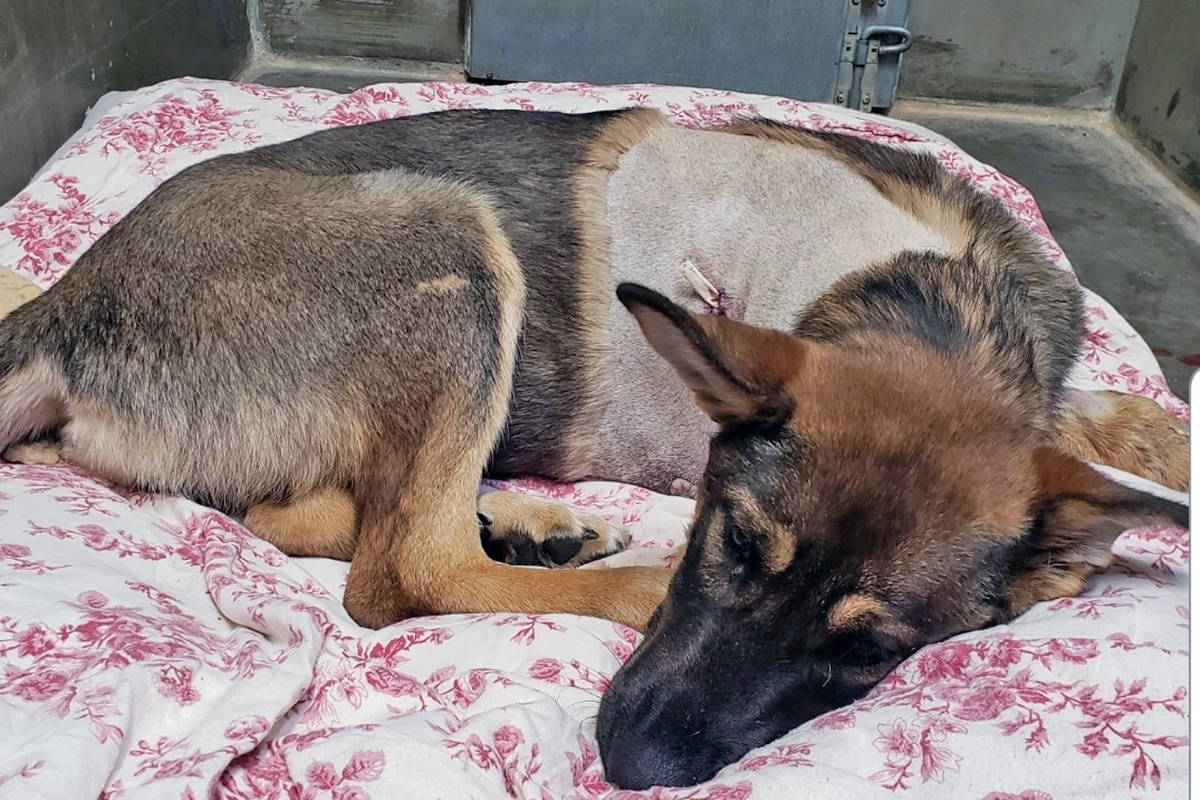 Puppy suffers 'horrific injuries' after falling out of truck in Williams Lake