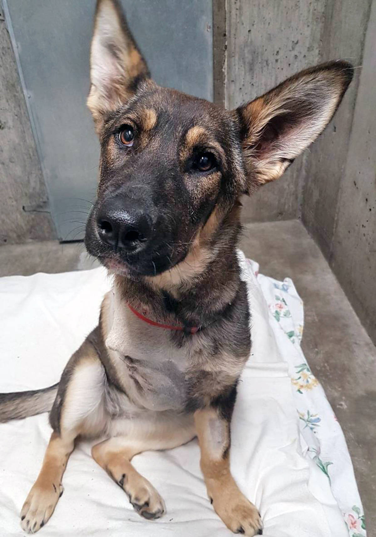 Chilli, a seven-month-year-old German Shepherd, is recovering after falling out of the back of a truck and sustaining injuries in Williams Lake. (BC SPCA photo)