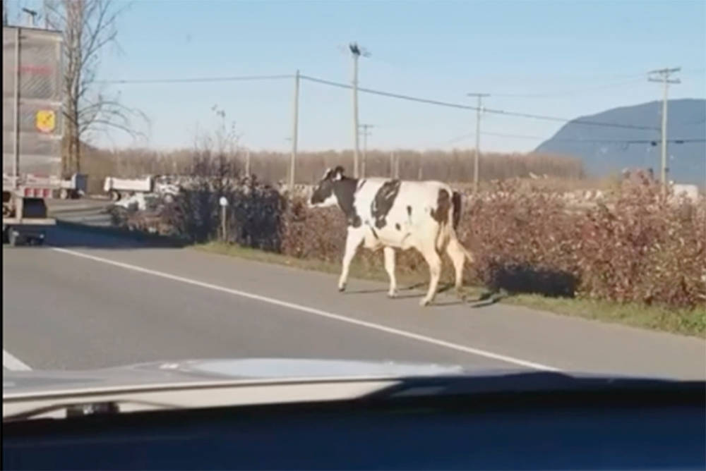 VIDEO: Cow escapee chased down on Highway 1
