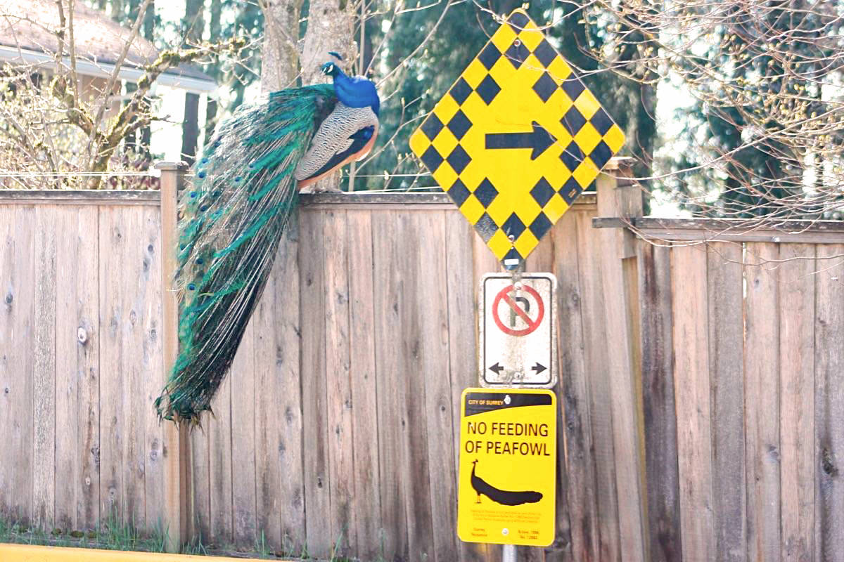 Aldergrove now home to Harald the peacock