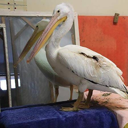 An American white pelican is shown in this handout photo. An endangered American white pelican faces a long recovery after being injured by some fishing line discarded in a lake near Oliver, B.C. (Wildlife Rescue Association photo)