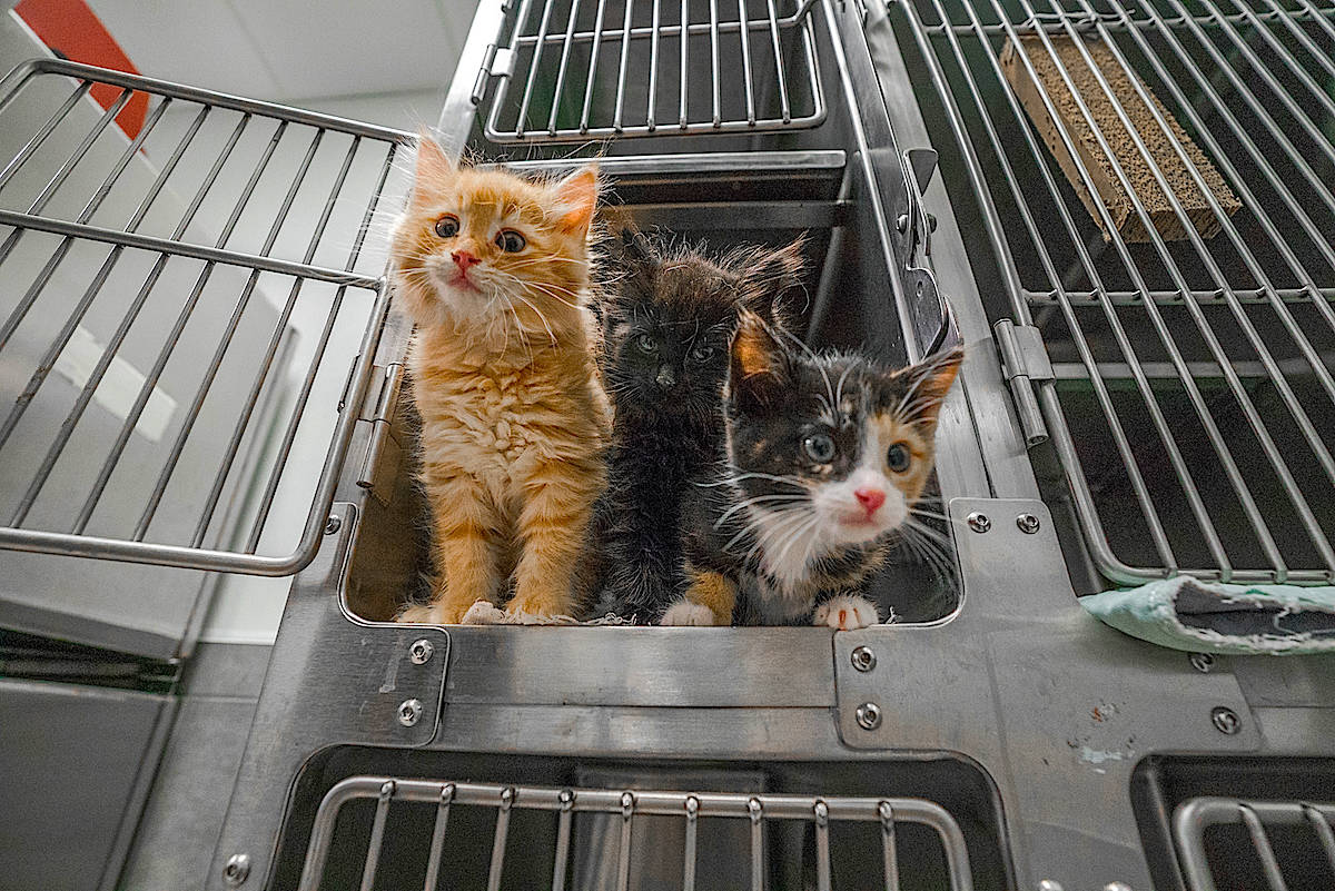 Cats, kittens, dogs, puppies and guinea pigs will be available for 50 per cent off on Nov. 9 (Black Press File Photo)