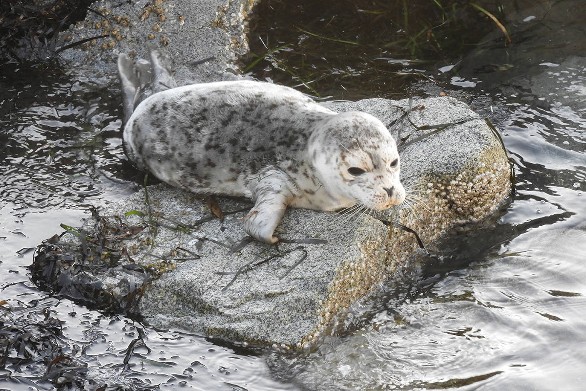 A seal pup climbed onto the rocks at the end of the White Rock Pier where it took an hour-long nap. (Christy Fox photo)