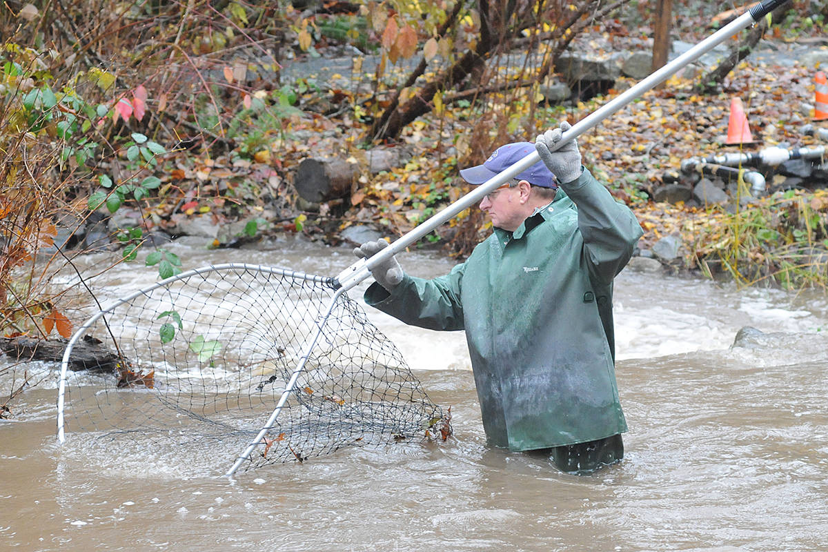 Volunteers used large scoop nets to retrieve salmon by hand. (Dan Ferguson/Langley Advance Times)