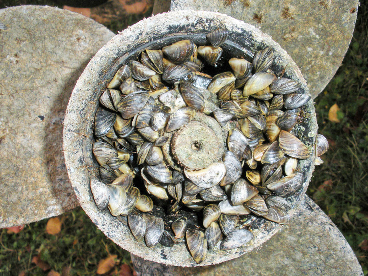 Zebra mussels on a boat propeller. (Photo Creative Commons)