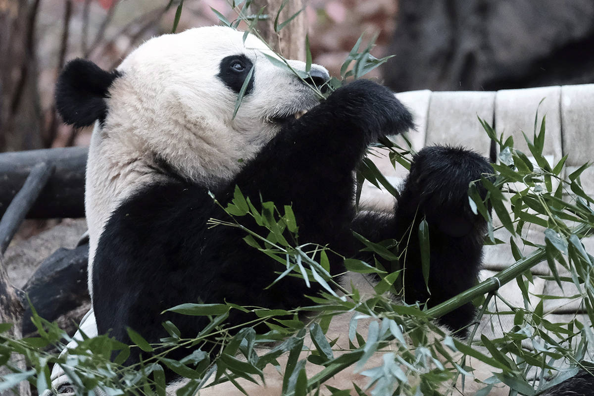 Giant panda Bei Bei eats bamboo at the David M. Rubenstein Family Giant Panda Habitat of the Smithsonian National Zoological Park before heading back to China, Tuesday, Nov 19, 2019, in Washington. (AP Photo/Michael A. McCoy)