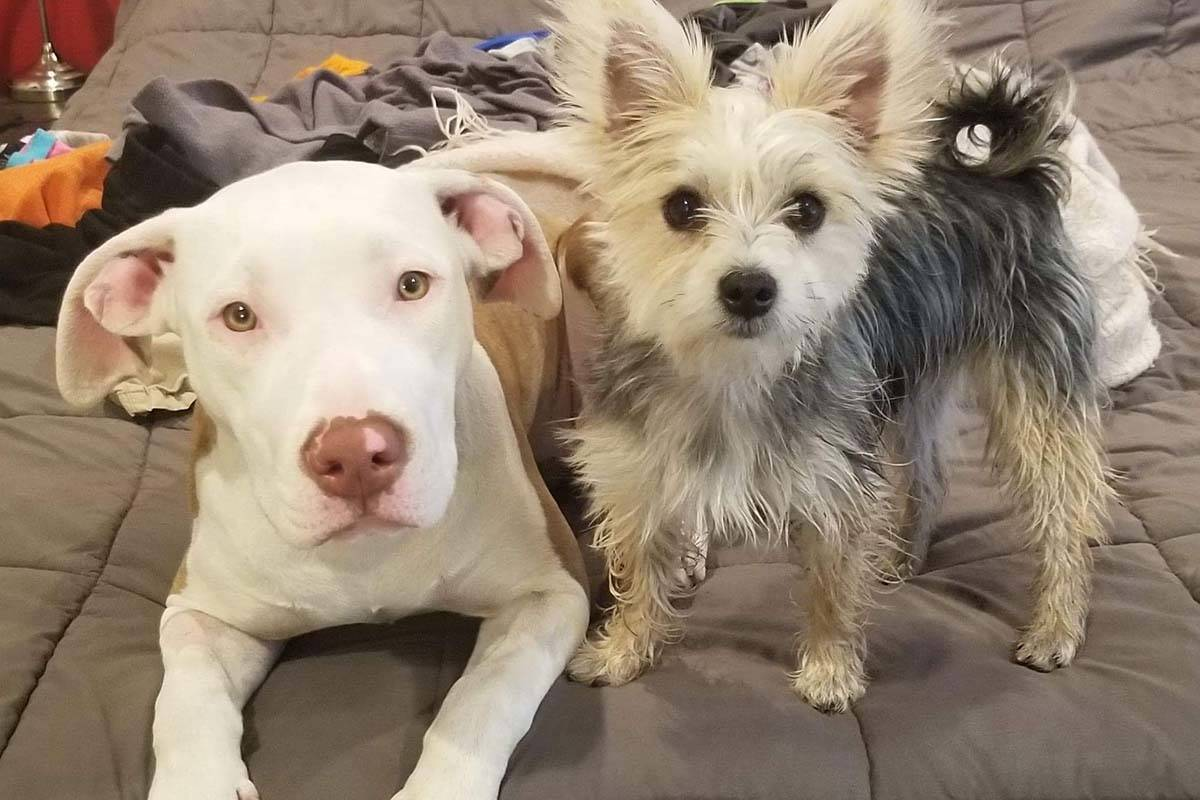 Ten-month-old Frankie (left) went missing from a Chilliwack dog sitter hired through Rover.com on Nov. 11, 2019. A downtown letter carrier found Frankie on Nov. 20 and as of Wednesday night, she was at the vet in recovery. (Submitted)