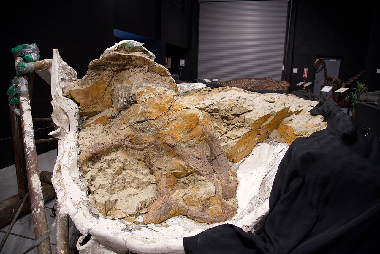 Nov. 21, 2019 – Staff at Dino Labs Inc. are excavating the fossilized remains of a 65-million-year-old triceratops. In the photo, the skull of the triceratops can be seen with its front horn at the bottom near the centre of the photo, and the crest of its skull near the top left. (Nicole Crescenzi/News Staff)
