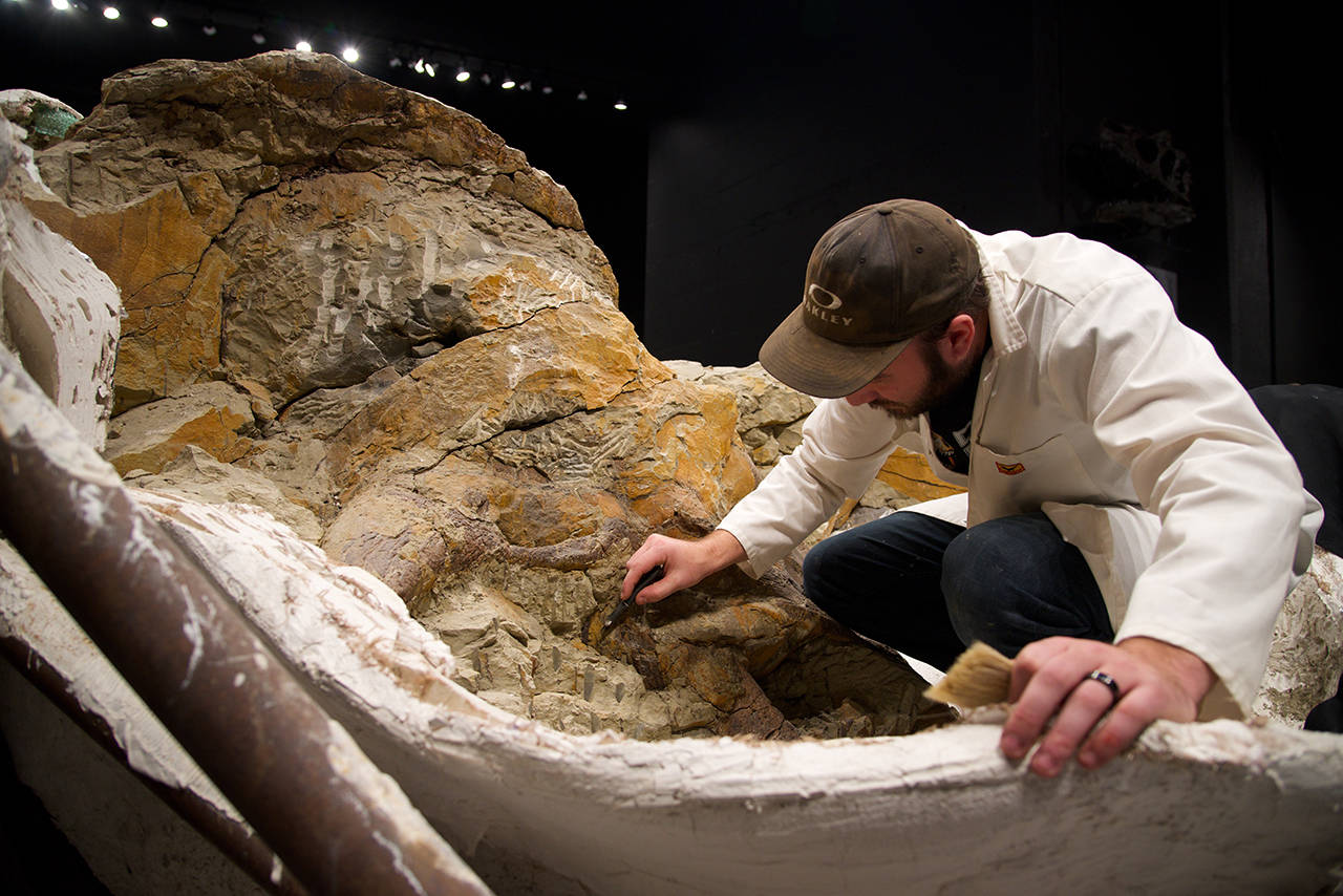 65-million-year-old triceratops fossil arrives in Victoria