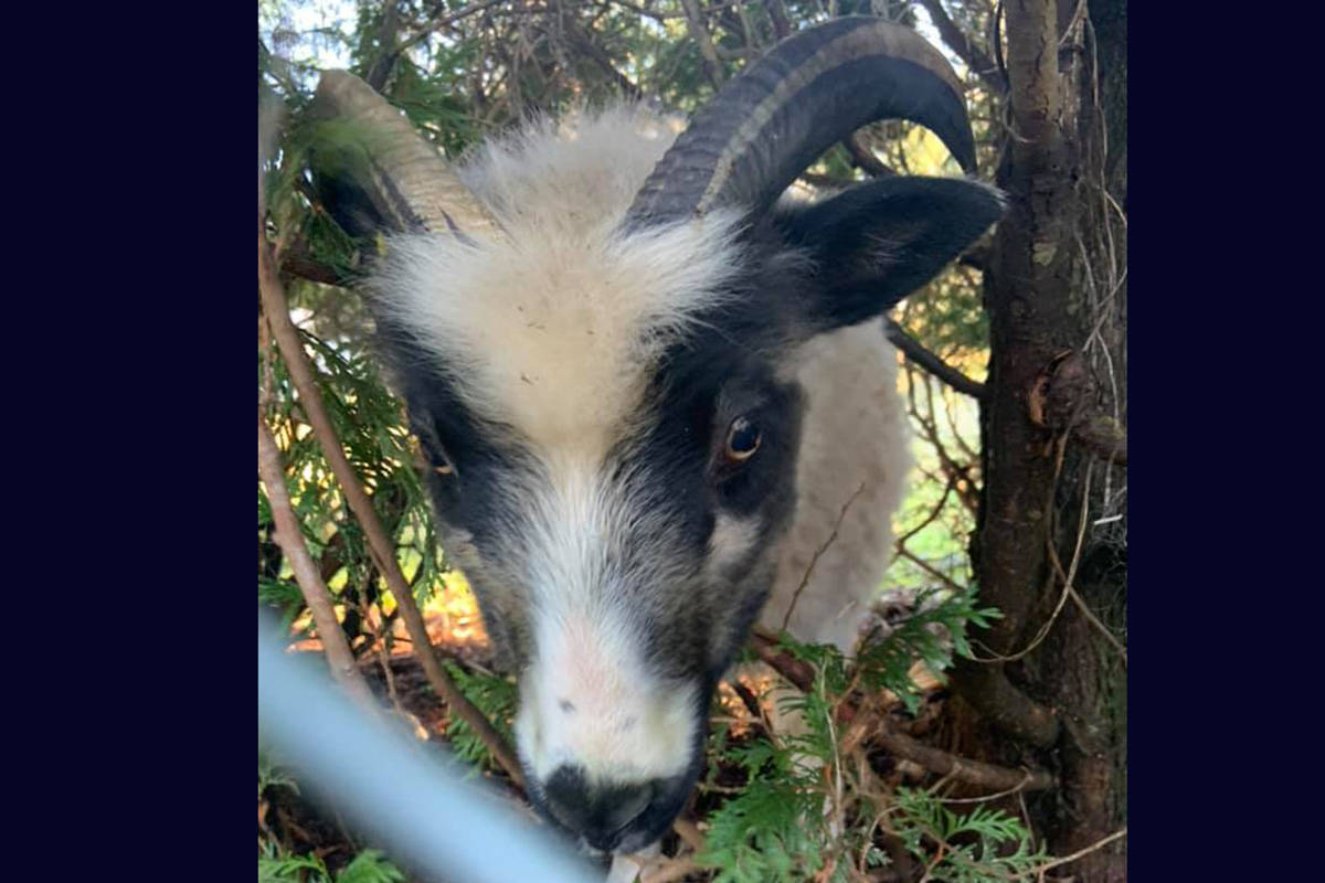 A photo of the neighbour's goat after Mission principal Rob Clark helped free it from a fence. Rob Clark Facebook photo.