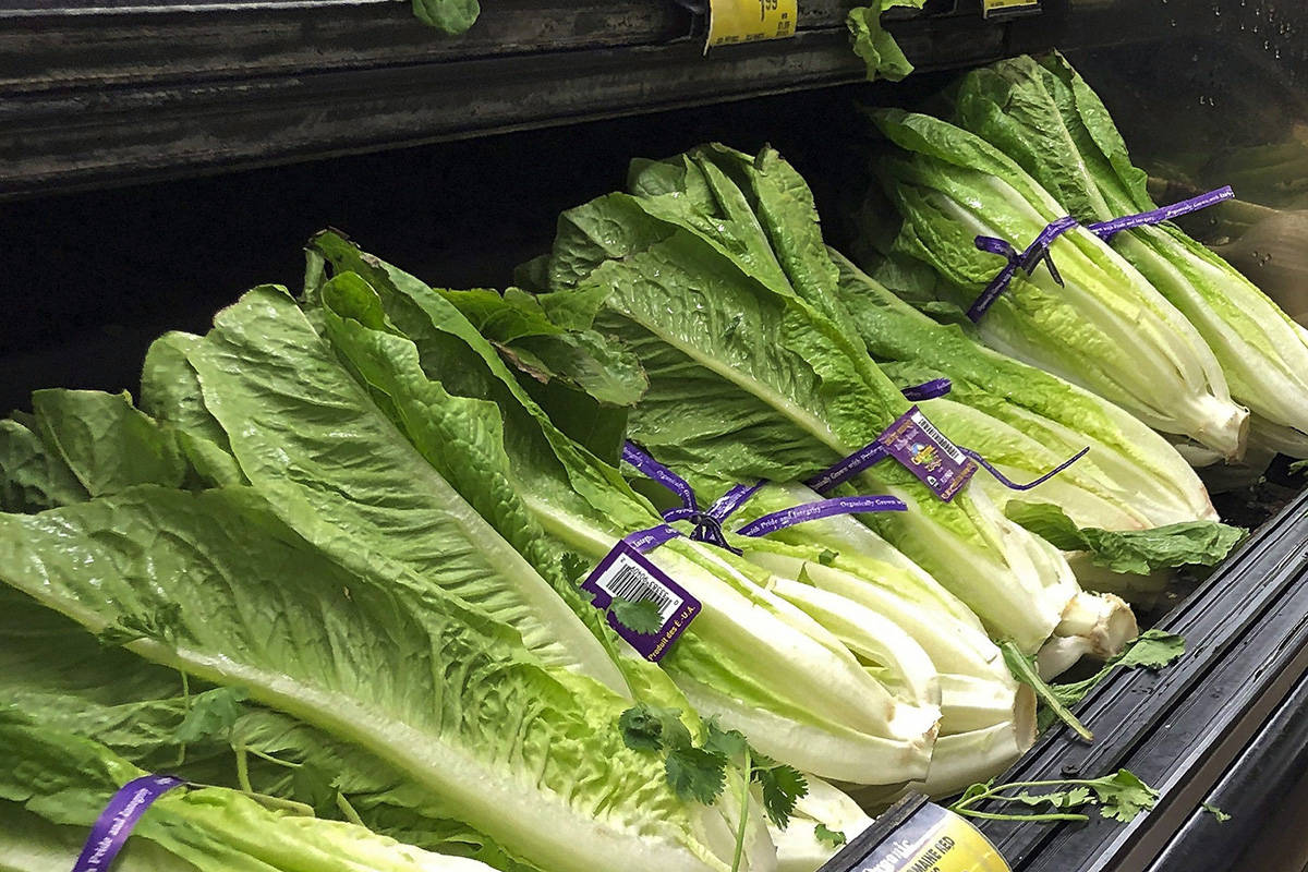 This Nov. 20, 2018 file photo shows romaine lettuce in Simi Valley, Calif. Canadian health officials are warning consumers to avoid romaine lettuce grown in Salinas, Calif., because of another food poisoning outbreak.THE CANADIAN PRESS/AP/Mark J. Terrill, File