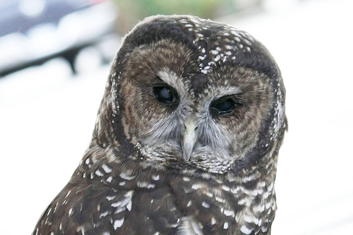 Small Eyes was born in 2009 at the Northern Spotted owl Breeding Program in Langley. Because she suffers a developmental disorder where her eyes are abnormally small, she has impaired vision. (Dan Ferguson/Langley Advance Times)