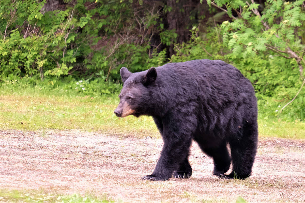 Blue River Safari has been fined $35,000 for baiting bears — the largest fine amount ever delivered in a B.C. court for attracting dangerous wildlife. The fine delivered on Nov. 25 is a precedent-setting case for British Columbia Conservation Officer Services. Photo by Bruce Warrington
