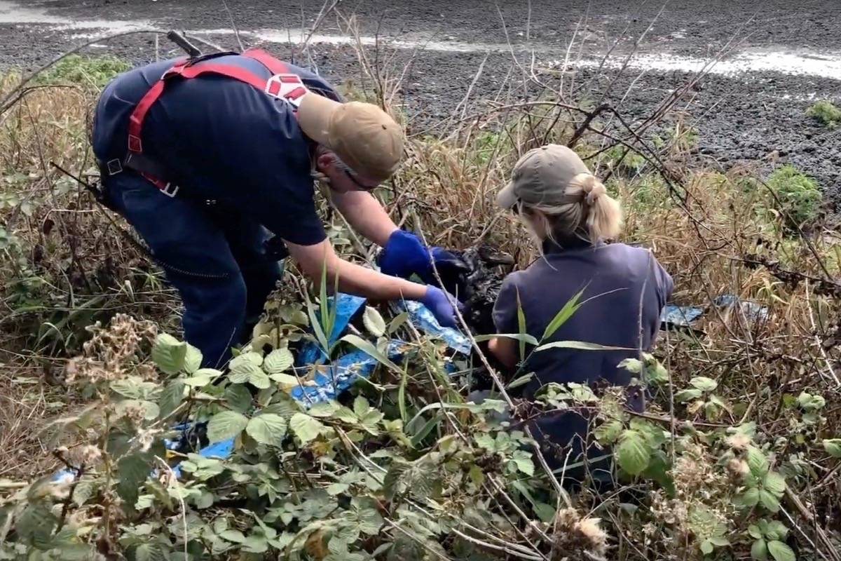 Rescuers from Delta's Orphaned Wildlife Rehabilitation Society (OWL) cut a young bald eagle from a volleyball net used to save the bird from a sewage treatment settling pond in Richmond, B.C. on Saturday, Aug. 24, 2019. (Orphaned Wildlife Rehabilitation Society/YouTube video screenshot)