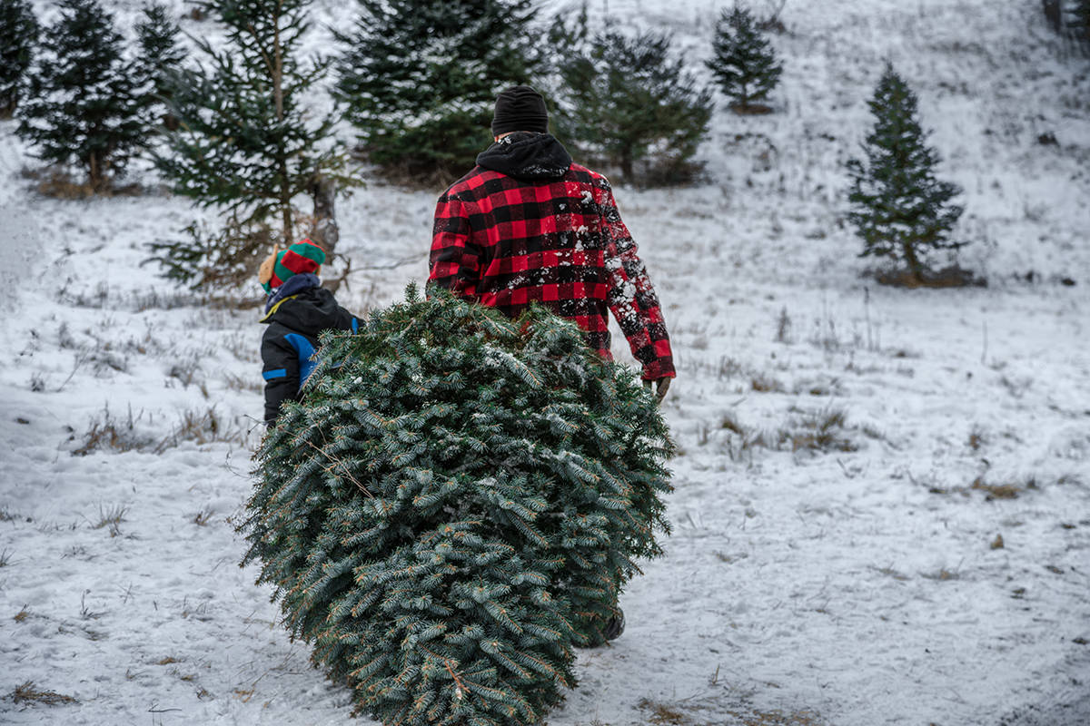 According to the Sierra Club, an artificial tree has to be used for 20 years to have roughly the same impact as one live cut Christmas tree. (Black Press Media file photo)