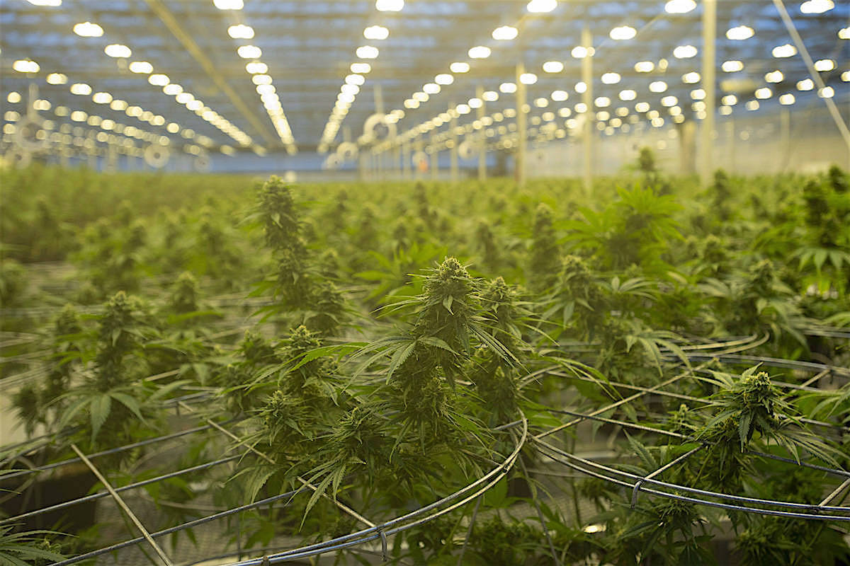Large-scale cannabis grow room operated by Hexo Corp. in Quebec, Oct. 11, 2019. Hexo is marketing a licensed dry cannabis product for $4.99 a gram to compete with illegal sales. (The Canadian Press)