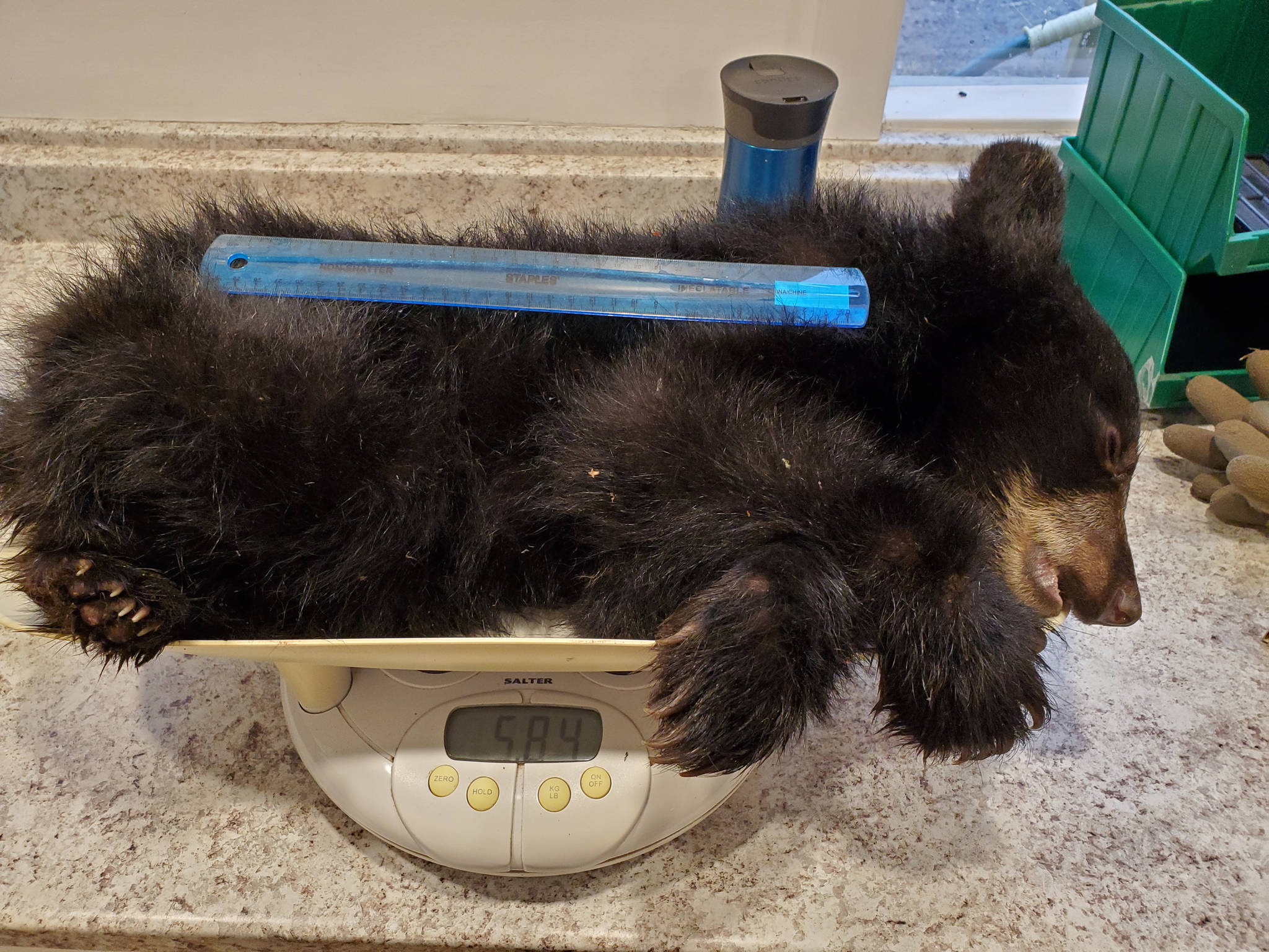 Northern Lights Wildlife Shelter is now home to a tiny bear cub that was rescued out of Telkwa recently. He weighs less than a third of what he should. (Contributed photo)