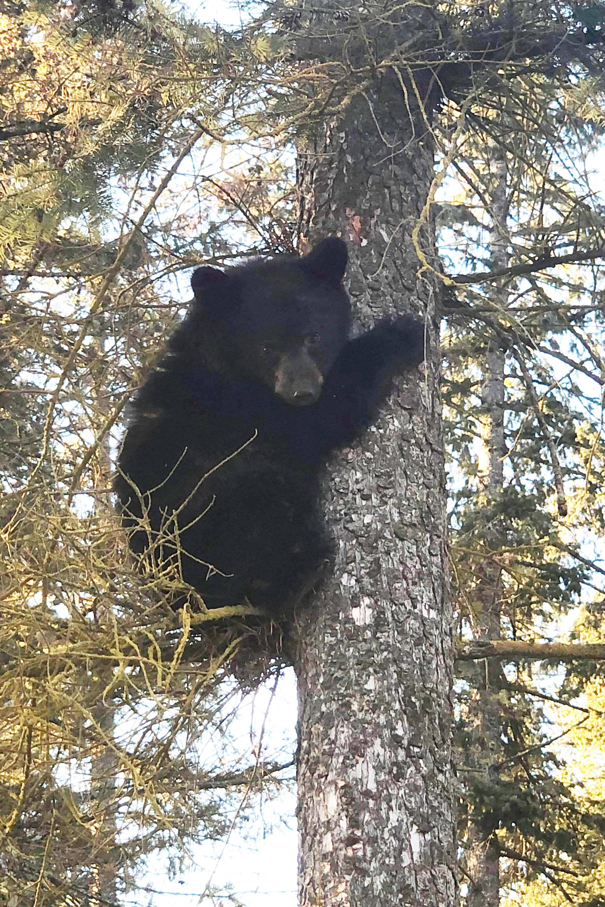 VIDEO: Boys help rescue Cariboo bear cub