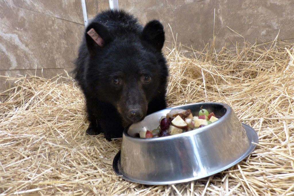 Rory, a bear cub found near Quesnel, is now in the care of the Northern Lights Wildlife Society near Smithers, B.C. (Northern Lights Wildlife Society photo)