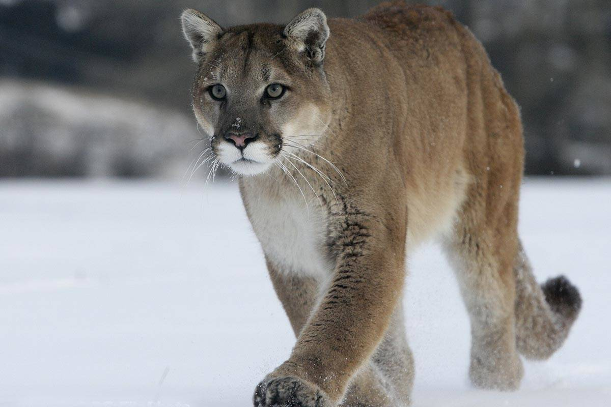 A juvenile cougar has been destroyed by conservation officers in the Penticton area. (WildSafe BC photo)