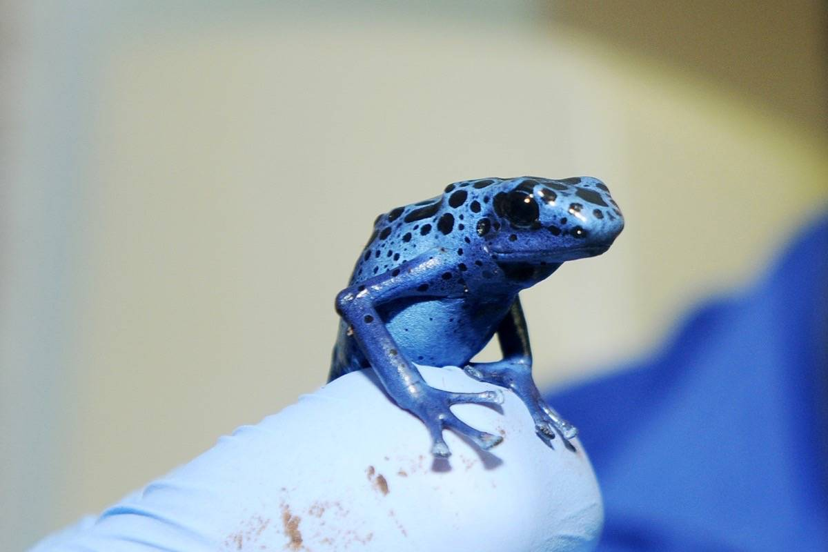 Maple Ridge veterinarian Dr. Adrian Walton with a dyeing blue frog that is legal to have as a pet in B.C. While it is a poison dart frog, they are only poisonous in the wild. (Colleen Flanagan/THE NEWS)