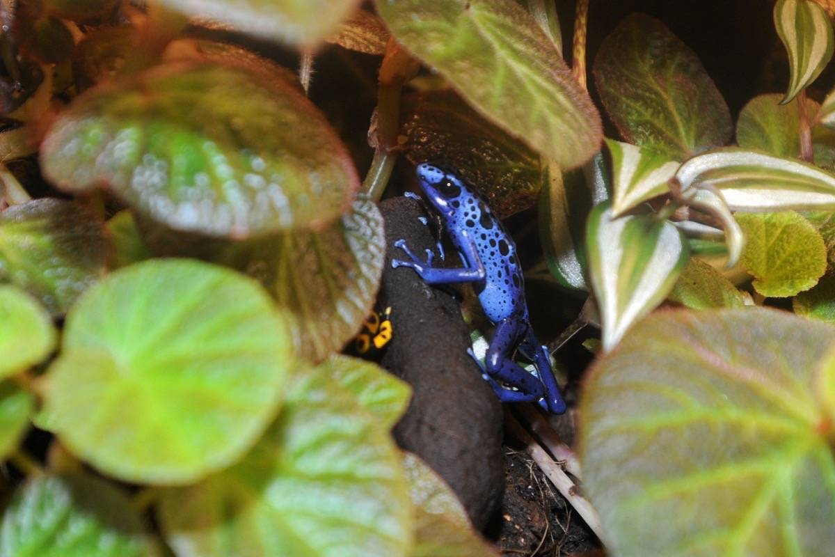 A dyeing blue frog that is legal to have as a pet in B.C. While it is a poison dart frog, they are only poisonous in the wild. (Colleen Flanagan/THE NEWS)